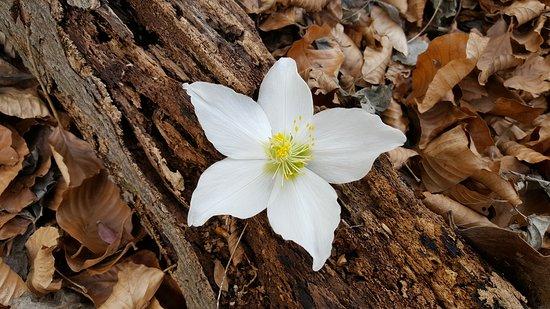 Galbiate, Italy: Helleborus niger (rosa di natale) - Sbucata e fiorita da un vecchio tronco.