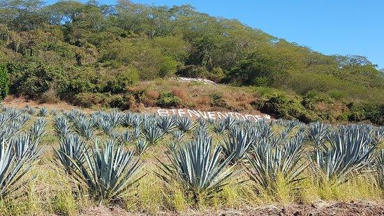La Noria, Mexico: Blue Agave Plants