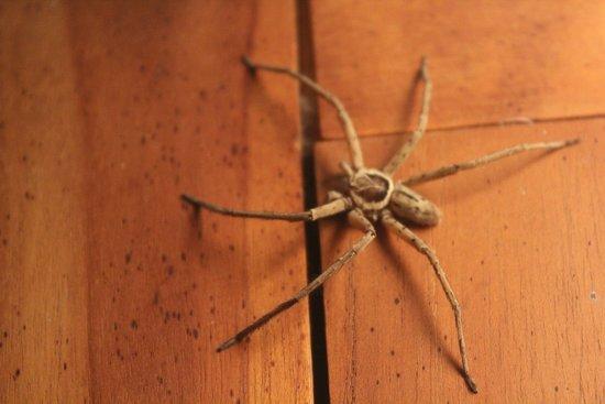 Reunion Island: L'araignée Babouk, pas agressive du tout, celle ci qui a visiblement perdue deux pattes, chassait sur la table de chevet près de la lampe allumée, les moustiques qui tournaient autour, et malgré son handicape, était très bonne chasseuse. Animal timide elle a passé deux nuits avec nous dans notre chambre sans jamais nous importuner.