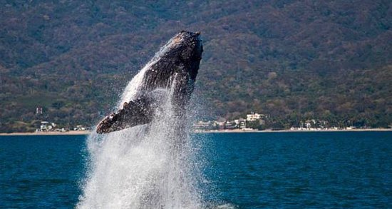 Every year Puerto Vallarta is visited by this beautiful critures, do not miss it!!!