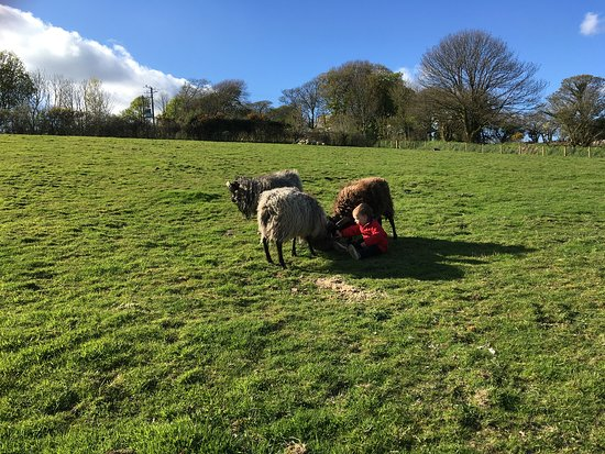Our flock of rare breed North Ronaldsay sheep having their breakfast, with our son, at Higher Trewithen Holiday Cottages.