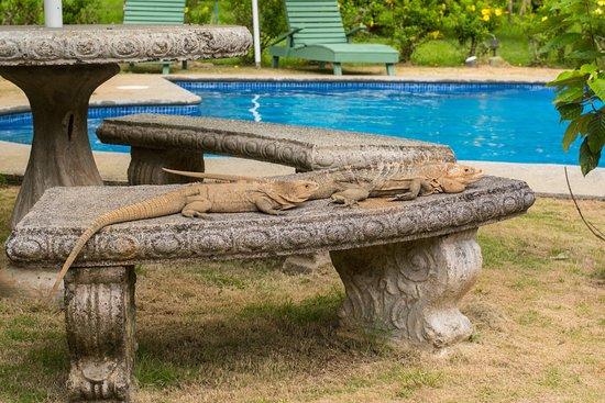 Hacienda Baru Lodge: A couple of iguanas sunbathing