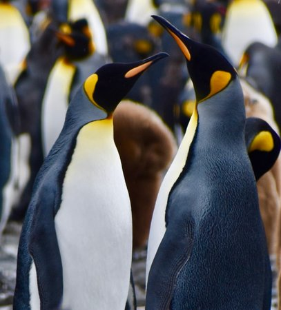 South Georgia and the South Sandwich Islands: King Penguins are Antarcticas royality.