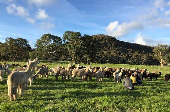Tour della fattoria alpaca