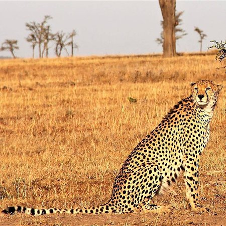 Réserve nationale du Masai Mara, Kenya : Cheetah on a hunting mission, spotted during recent game drive with Pathway safaris