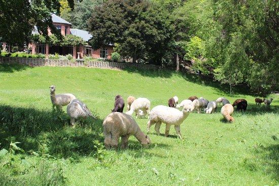 Kooinda Alpacas
