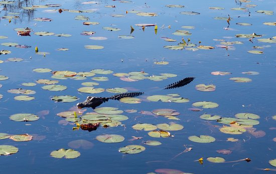 Waycross, GA: How many alligators you see depends on the water level and weather.