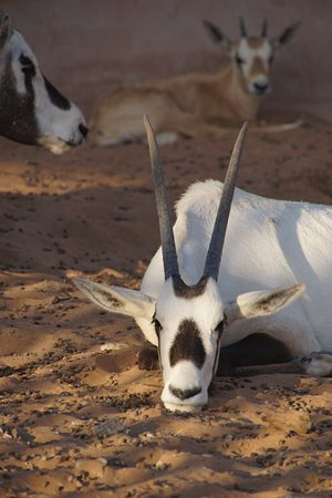 a real live oryx