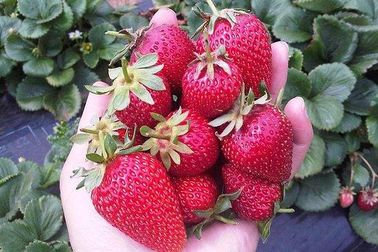 莫宁顿半岛包括墨尔本草莓农场一日游