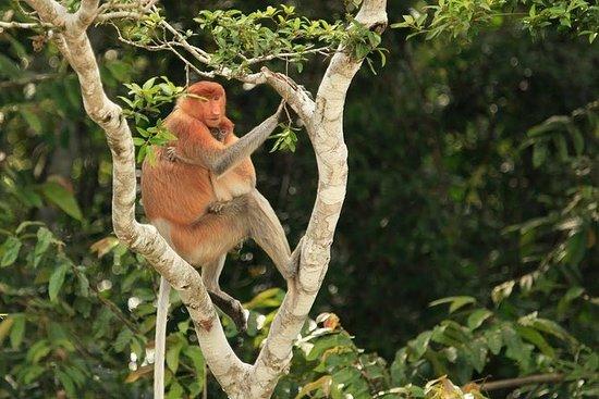 Full-Day Orangutan og Proboscis...