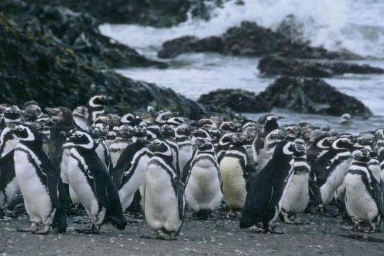 Visita a la isla de Chiloé: Pingüinos...