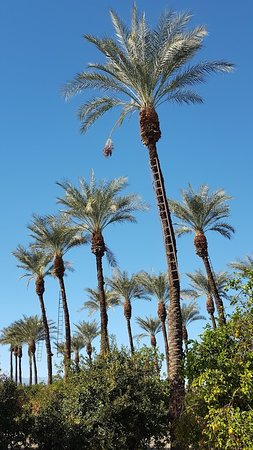 Date Palms With Ladders