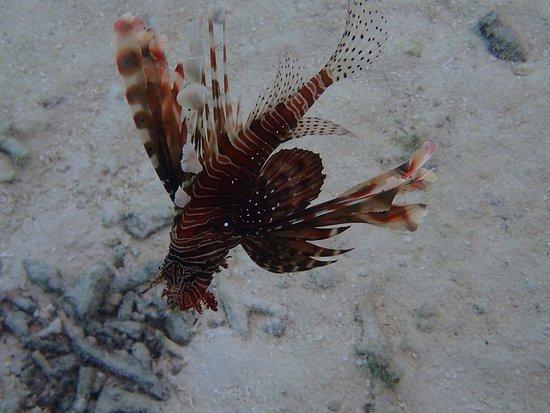 Gangehi Island: Pesce scorpione sotto la scala del nostro over water