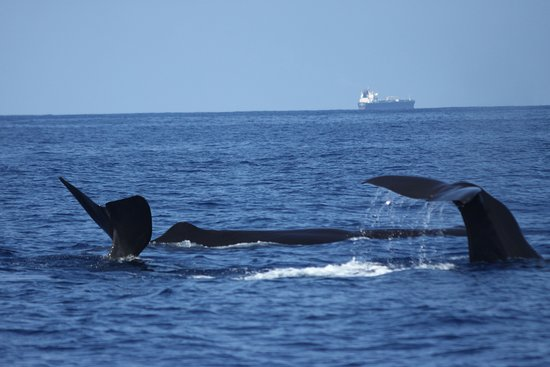 Trinco Blue Whale Watching & Diving: Sperm Whales