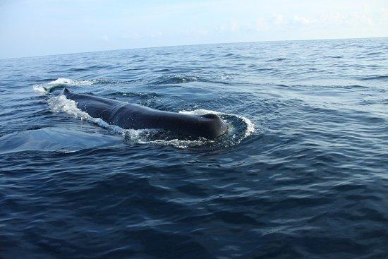 Trinco Blue Whale Watching & Diving: Sperm Whales trinco