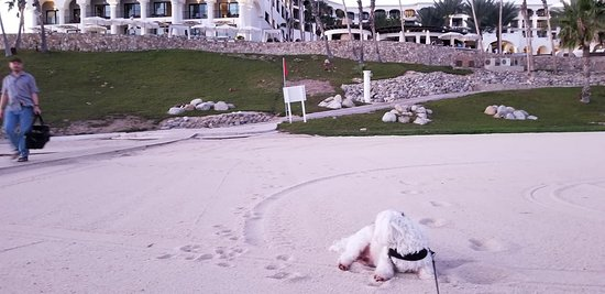 Hilton Los Cabos Beach & Golf Resort: Lucky enjoying the white sand.