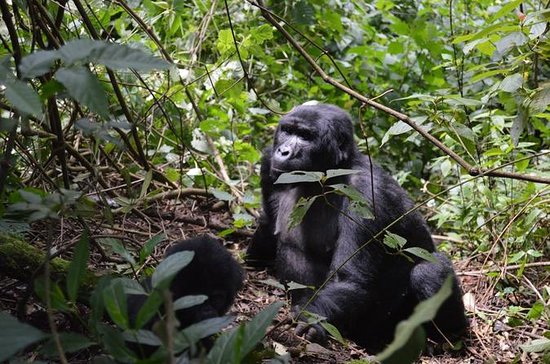 5 Day Gorilla and Chimpanzee Safari
