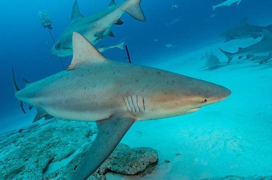 Mergulhe com tubarões-touro da...