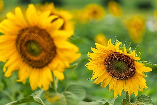 Manee Sorn Sunflower Field