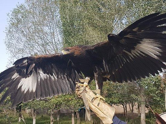 Bokonbayevo, Kirgisistan: what a mighty falcon