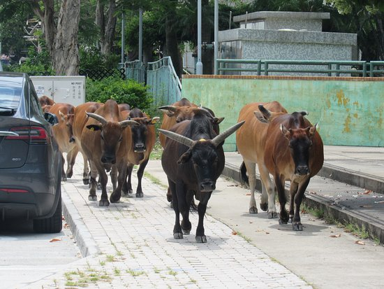Herd of wild oxen in the streets of Tai O Fishing village