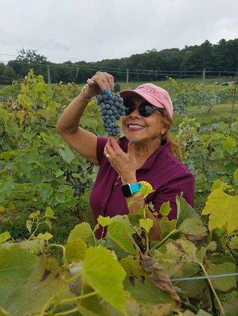 Ledyard, CT: Maugle Sierra Vineyards
