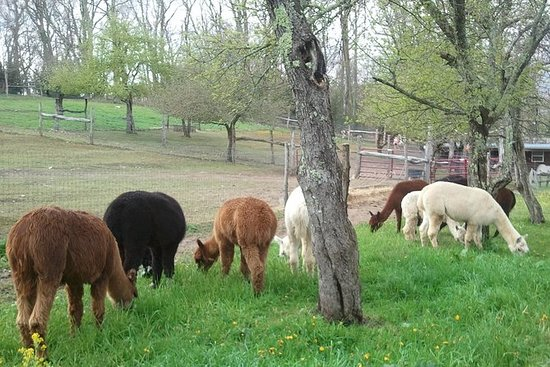 Alpaca Farm Tour presso Apple Hill