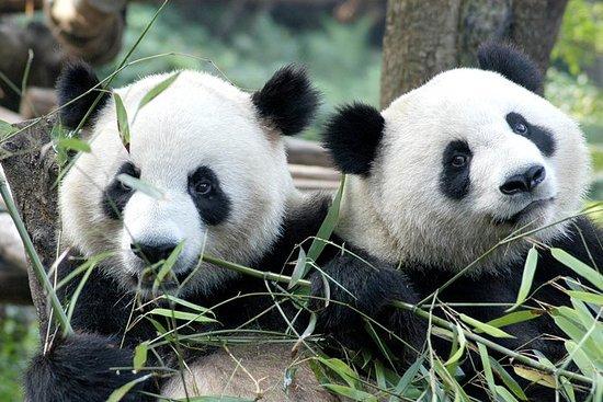 Halvdag Chengdu Panda Breeding Center...