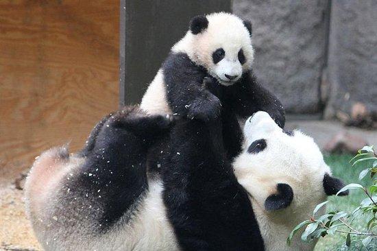 Excursión de un día a los Pandas e...