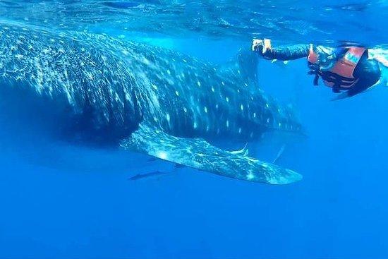 Nuota con gli squali balena