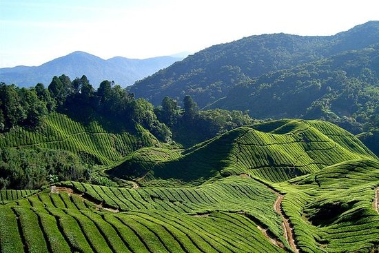 Small-Group Cameron Highlands...