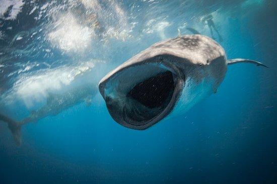 Aventure de requin-baleine