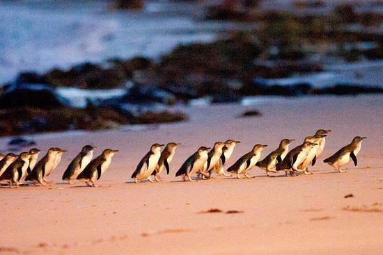 墨尔本高级菲利普岛企鹅游行入场和快速班车