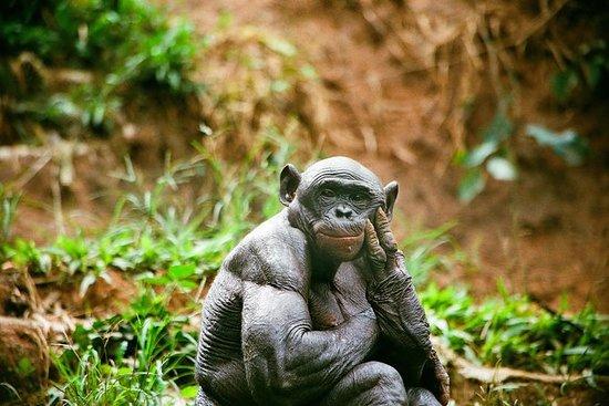 Excursión de medio día a Bonobo...