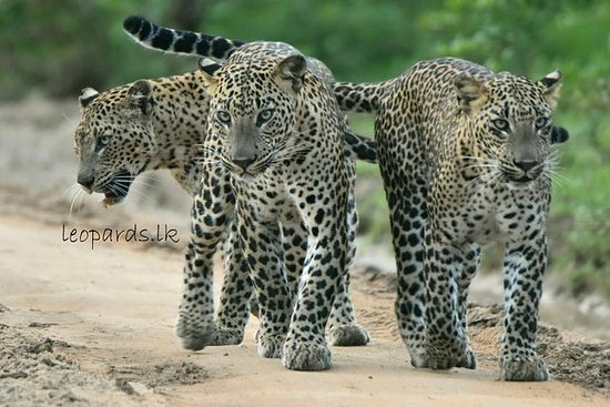 Speciale tour Safari leopardo nel