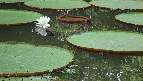 El Jardin de la Victoria Regia