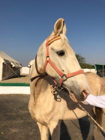 Kutch Classic Rider Camp: Beautiful Marwari horses