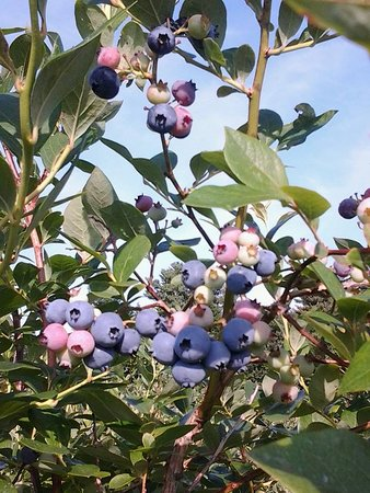 Ashburnham, MA: Fresh Berries!