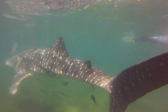 Whale shark experience at La Paz