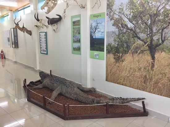Kibuye, Rwanda: crocodilr