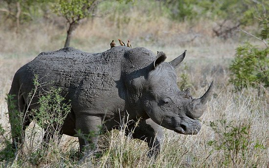 Nakitoma, Ouganda : Rhino in Rhino sanctuary Uganda. in East Africa, Rhinos are majorly found in Kenya and Uganda.