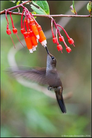 San Martin Region, Peru: Hummingbird at one of the feeders at Fundo Alto Nieva