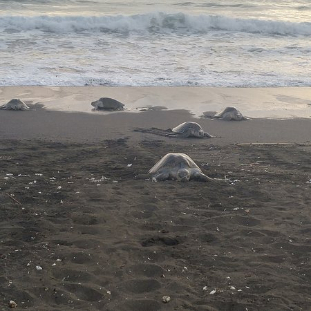 Playa Carrillo, Costa Rica: turtles making there way up the beach in Ostional to lay their eggs.
