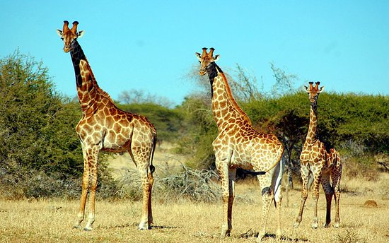 Giraffes in aberdare national park