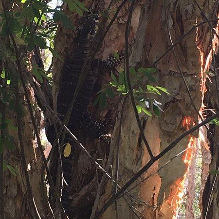 Old Bar, Austrália: Creek walk has Ents, lizards and pleasant bridges and vistas
