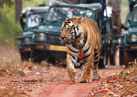 Ranthambore National Park, India: Tiger when you are Lucky