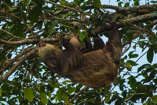 Costa Rica Roots Tours: 2-toed Sloth with young