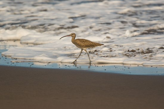 Costa Rica Roots Tours: Whimbrel