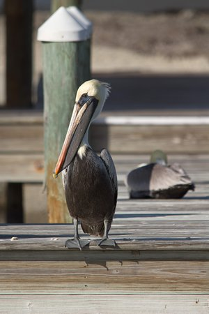 Charlotte Harbor Tours: Brown Pelican