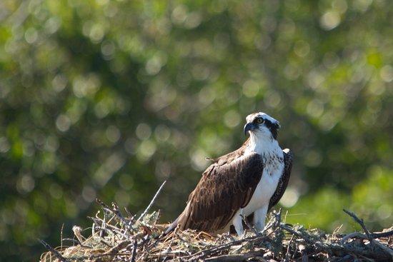 Charlotte Harbor Tours: Osprey - Female